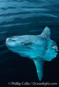 Ocean sunfish. San Diego, California, USA, Mola mola, natural history stock photograph, photo id 02029
