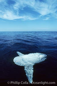 Ocean sunfish. San Diego, California, USA, Mola mola, natural history stock photograph, photo id 02030