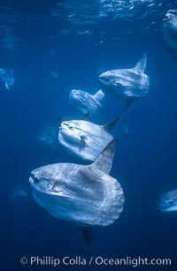 Ocean sunfish schooling near drift kelp, soliciting cleaner fishes, open ocean, Baja California., Mola mola, natural history stock photograph, photo id 06380