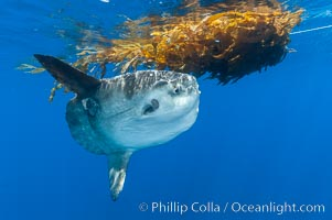 Ocean sunfish hovers near drift kelp to recruite juvenile fish to remove parasites, open ocean. San Diego, California, USA, Mola mola, natural history stock photograph, photo id 10001
