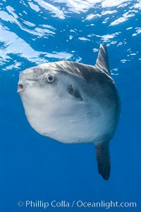 Ocean sunfish, open ocean. San Diego, California, USA, Mola mola, natural history stock photograph, photo id 10030