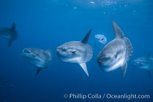 Ocean sunfish schooling, open ocean near San Diego. California, USA, Mola mola, natural history stock photograph, photo id 03565