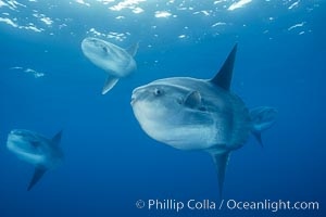 Ocean sunfish schooling, open ocean near San Diego. California, USA, Mola mola, natural history stock photograph, photo id 03588