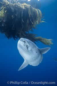 Image 03599, Ocean sunfish referencing drift kelp, open ocean near San Diego. San Diego, California, USA, Mola mola, Phillip Colla, all rights reserved worldwide. Keywords: actinopterygii, animal, animalia, california, california baja california, chordata, creature, fish, indo-pacific, manbow, marine, marine fish, mola, mola mola, molidae, mondfisch, moonfish, nature, ocean, ocean sunfish, ocean sunfish - mola mola, odd, outdoors, outside, pacific, pacific ocean, pelagic, pesce luna, pez luna, san diego, sea, strange, submarine, sunfish, teleost fish, tetraodontiformes, underwater, usa, vertebrata, wild, wildlife.