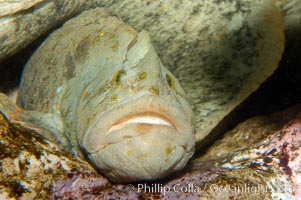 Monkey-faced eel, Cebidichthys violaceus