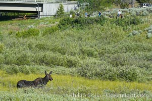 Adult female moose watches horseback riders near Christian Creek, Alces alces, Grand Teton National Park, Wyoming
