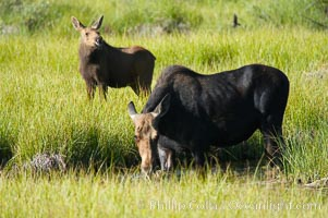 Mother moose grazes in Christian Creek while its calf watches nearby, Alces alces, Grand Teton National Park, Wyoming