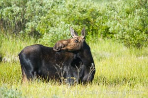 Adult female moose in deep meadow grass near Christian Creek. Grand Teton National Park, Wyoming, USA, Alces alces, natural history stock photograph, photo id 13047