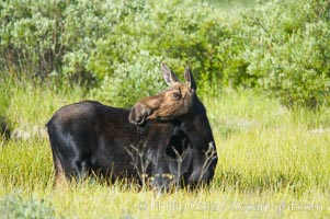 Adult female moose in deep meadow grass near Christian Creek, Alces alces, Grand Teton National Park, Wyoming