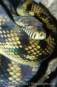 Image 12568, Amethystine python.  The amethystine python is Australias biggest snake.  They are nocturnal and arboreal, inhabiting tropical rainforests, monsoon forests and vine forests., Morelia amethistina