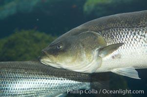 Striped bass (striper, striped seabass)., Morone saxatilis, natural history stock photograph, photo id 10982