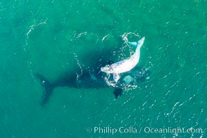 Aerial view of mother and white calf, Southern right whale, Argentina, Eubalaena australis, Puerto Piramides, Chubut