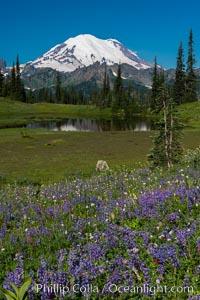Mount Rainier and alpine wildflowers. Tipsoo Lakes, Mount Rainier National Park, Washington, USA, natural history stock photograph, photo id 28737
