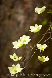 Mountain dogwood, or Pacific dogwood, Yosemite Valley. Yosemite National Park, California, USA, Cornus nuttallii, natural history stock photograph, photo id 12676