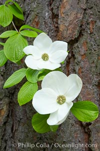 Mountain dogwood, or Pacific dogwood, Yosemite Valley. Yosemite National Park, California, USA, Cornus nuttallii, natural history stock photograph, photo id 12691