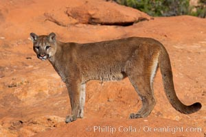 Mountain lion., Puma concolor, natural history stock photograph, photo id 12279