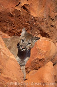 Mountain lion., Puma concolor, natural history stock photograph, photo id 12280