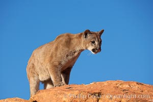 Mountain lion., Puma concolor, natural history stock photograph, photo id 12287