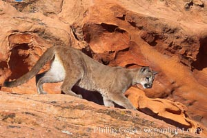 Mountain lion., Puma concolor, natural history stock photograph, photo id 12300