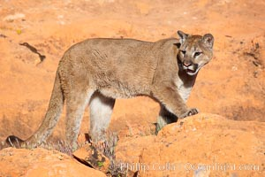 Mountain lion., Puma concolor, natural history stock photograph, photo id 12304