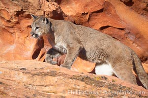 Image 12311, Mountain lion., Puma concolor