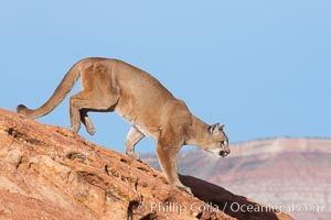 Image 12314, Mountain lion., Puma concolor, Phillip Colla, all rights reserved worldwide. Keywords: animal, animalia, carnivora, carnivore, catamount, chordata, concolor, cougar, creature, deer tiger, felidae, feliformia, felinae, le�n, le�n americano, le�n bayo, le�n colorado, le�n de monta�a, mammal, mitzli, mountain lion, moutain lion, nature, onza bermeja, panther, puma, puma concolor, red tiger, vertebrata, vertebrate, wildlife.