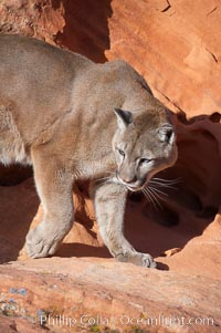 Mountain lion., Puma concolor, natural history stock photograph, photo id 12317