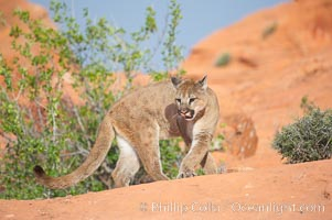 Mountain lion., Puma concolor, natural history stock photograph, photo id 12324