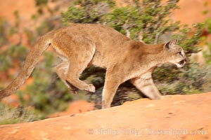 Image 12325, Mountain lion., Puma concolor, Phillip Colla, all rights reserved worldwide. Keywords: animal, animalia, carnivora, carnivore, catamount, chordata, concolor, cougar, creature, deer tiger, felidae, feliformia, felinae, le�n, le�n americano, le�n bayo, le�n colorado, le�n de monta�a, mammal, mitzli, mountain lion, moutain lion, nature, onza bermeja, panther, puma, puma concolor, red tiger, vertebrata, vertebrate, wildlife.