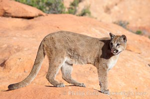 Mountain lion., Puma concolor, natural history stock photograph, photo id 12328