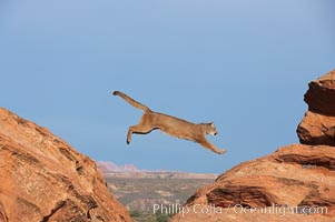 Mountain lion leaping., Puma concolor, natural history stock photograph, photo id 12353