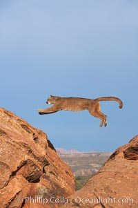 Mountain lion leaping., Puma concolor, natural history stock photograph, photo id 12359