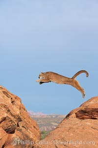 Mountain lion leaping., Puma concolor, natural history stock photograph, photo id 12360