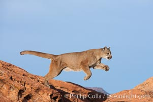 Mountain lion leaping., Puma concolor, natural history stock photograph, photo id 12362