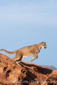 Mountain lion leaping., Puma concolor, natural history stock photograph, photo id 12365