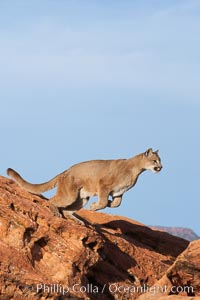 Mountain lion leaping., Puma concolor, natural history stock photograph, photo id 12366