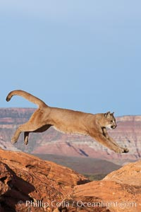 Mountain lion leaping., Puma concolor, natural history stock photograph, photo id 12367