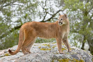 Mountain lion, Sierra Nevada foothills, Mariposa, California., Puma concolor, natural history stock photograph, photo id 15815