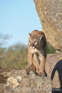 Mountain lion, Sierra Nevada foothills, Mariposa, California., Puma concolor, natural history stock photograph, photo id 15816