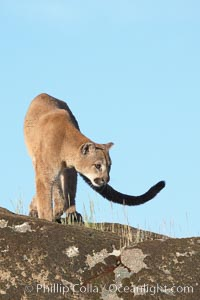 Mountain lion, Sierra Nevada foothills, Mariposa, California., Puma concolor, natural history stock photograph, photo id 15817