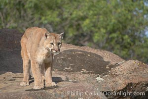 Mountain lion, Sierra Nevada foothills, Mariposa, California., Puma concolor, natural history stock photograph, photo id 15819
