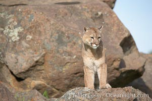 Mountain lion, Sierra Nevada foothills, Mariposa, California, Puma concolor