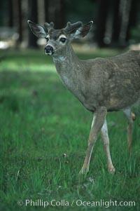 Mule deer, Yosemite Valley, Yosemite National Park, California