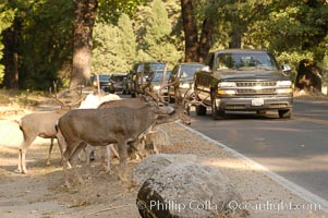 Mule deer pause beside traffic in Yosemite Valley, Odocoileus hemionus, Yosemite National Park, California