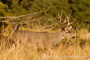 Mule deer, Yosemite Valley, Odocoileus hemionus, Yosemite National Park, California