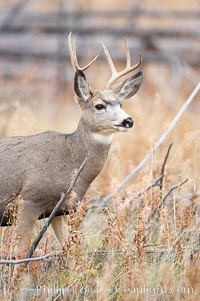 Image 19585, Mule deer in tall grass, fall, autumn. Yellowstone National Park, Wyoming, USA, Odocoileus hemionus