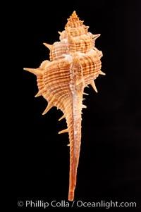 Murex aduncospinosus, Murex aduncospinosus