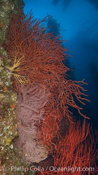 Brown gorgonians on rocky reef, below kelp forest, underwater.  Gorgonians are filter-feeding temperate colonial species that live on the rocky bottom at depths between 50 to 200 feet deep.  Each individual polyp is a distinct animal, together they secrete calcium that forms the structure of the colony. Gorgonians are oriented at right angles to prevailing water currents to capture plankton drifting by, Muricea fruticosa, San Clemente Island
