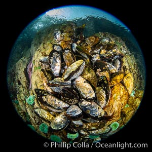 Image 35297, Mussels gather on a rocky reef, filtering nutrients from passing ocean currents. Browning Pass, Vancouver Island. British Columbia, Canada, Phillip Colla, all rights reserved worldwide. Keywords: british columbia, browning pass, canada, circle, circular fisheye, fisheye, queen charlotte straight, underwater, vancouver island.