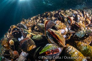 Mussels gather on a rocky reef, filtering nutrients from passing ocean currents. Browning Pass, Vancouver Island. British Columbia, Canada, natural history stock photograph, photo id 35310